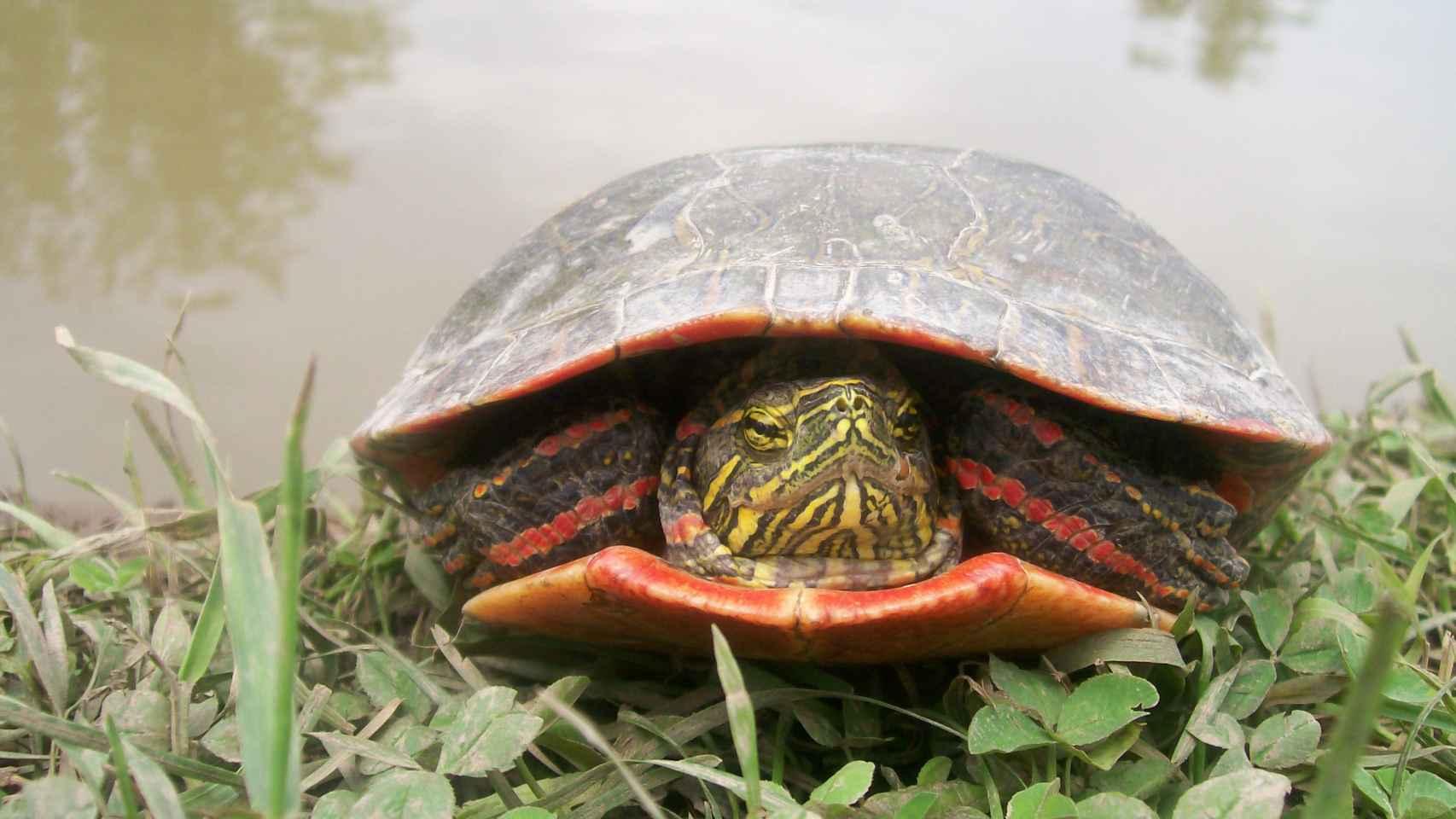 La tortuga pintada utiliza el gen para la visión del rojo y para la coloración externa