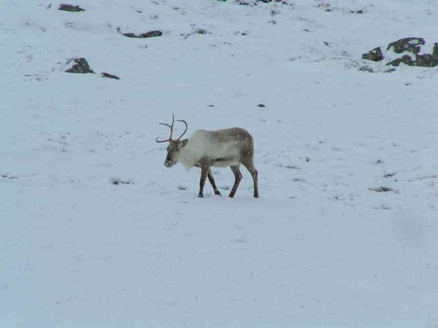 Un reno se dirige hacia Egilstadir.