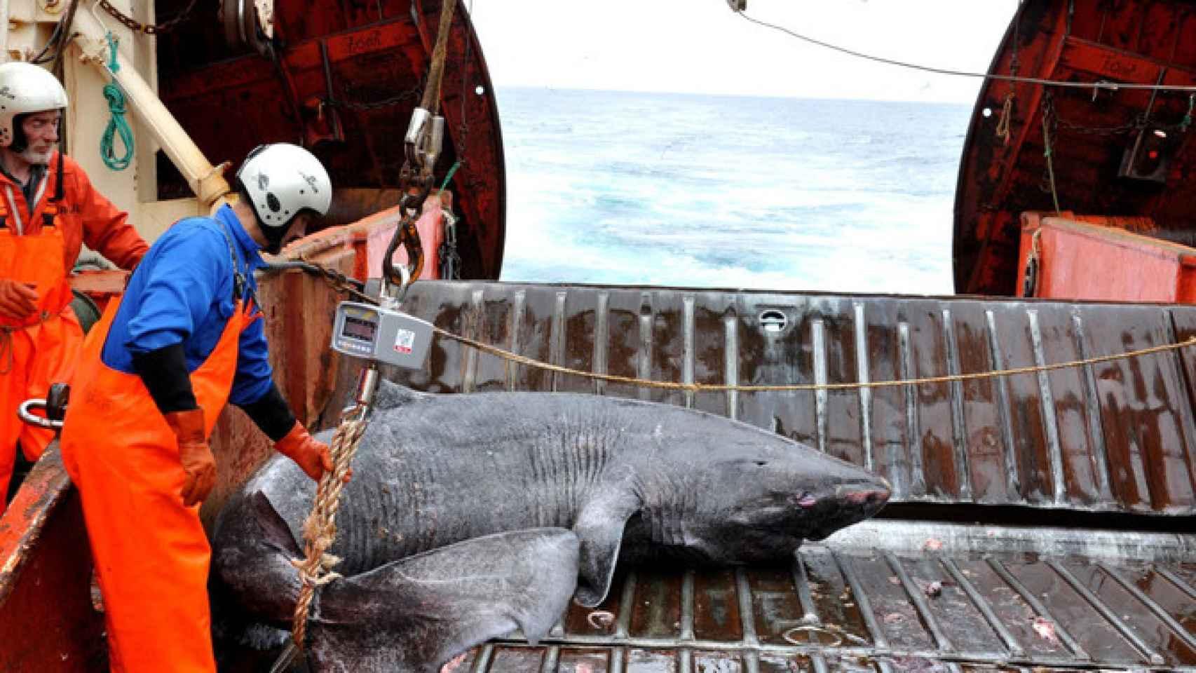 Un tiburón de Groenlandia se estudia en el buque de investigación Pâmiut.