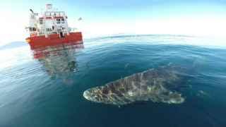 Un tiburón de Groenlandia se aleja para volver a las profundas y frías aguas del fiordo Uummannaq.