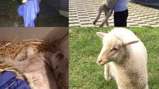 La oveja de Belluscio, la cerda de Pataky... y otras mascotas insólitas de los famosos