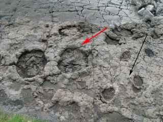 Huella de un sauropodo (flecha roja) y un estegosaurio (flecha negra)