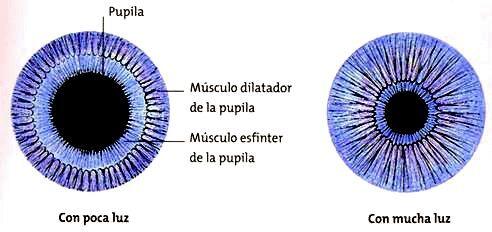 musculo-esfinter-del-iris-7