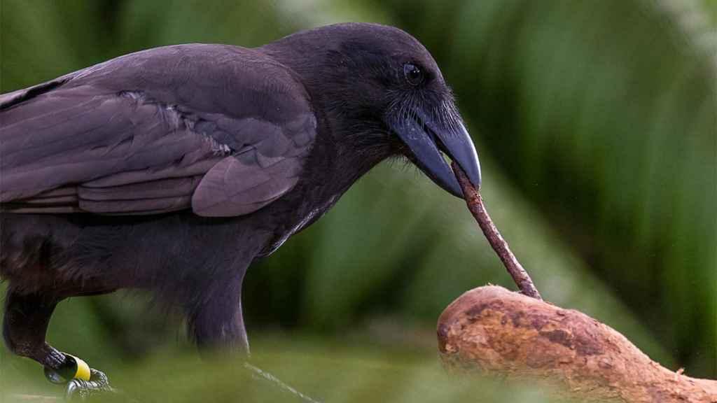 Los cuervos son expertos solucionadores de problemas