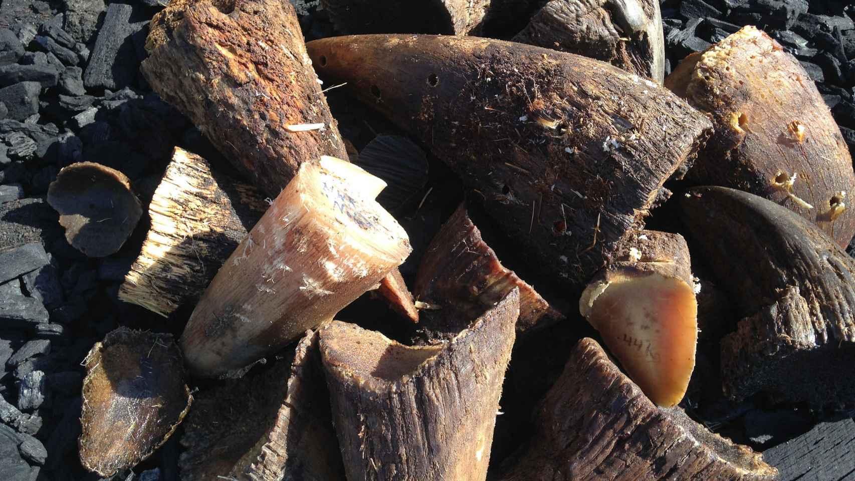 Cuernos de rinoceronte confiscados.