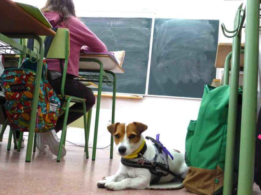Lupa acude cada día a clase con Ana y está siempre pendiente de la salud de su dueña.