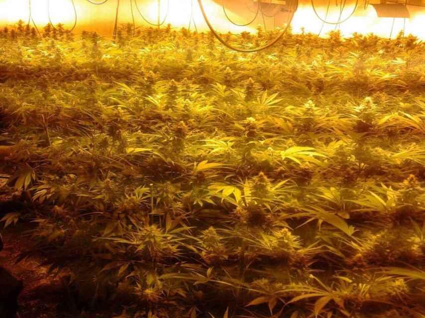 Cultivo de marihuana en el sótano de una 'casa verde', a punto para la recogida.