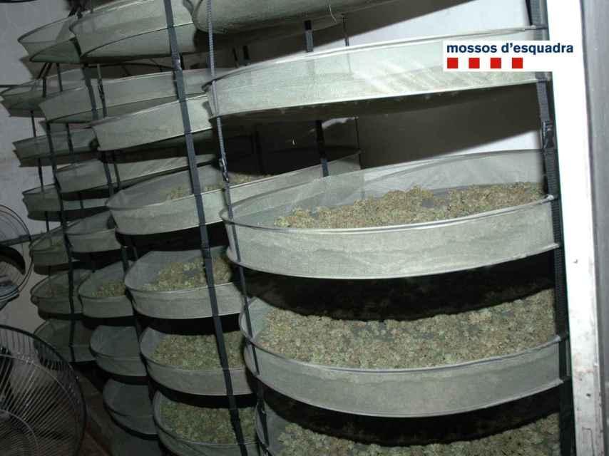 La marihuana se seca en unas columnas con cedazos.