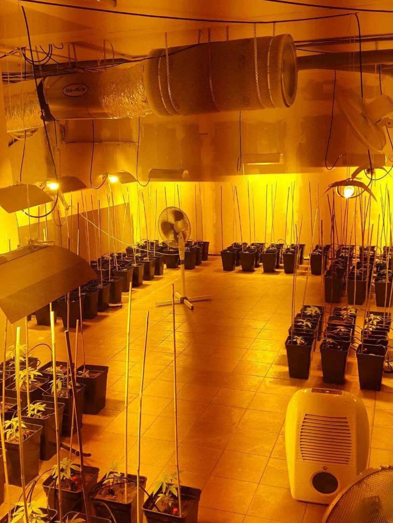 Una sala independiente en la que están creciendo las plantas de marihuana.