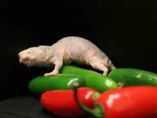 Así es el animal resistente al cáncer que tampoco siente dolor