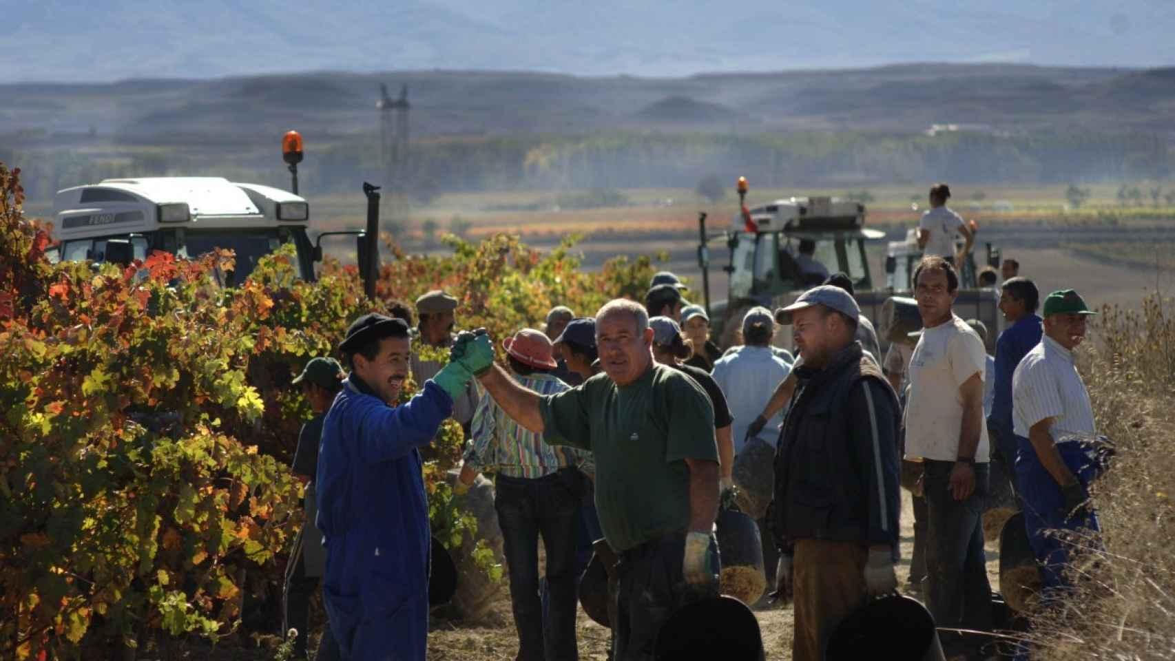 Cuadrillas de vendimiadores en uno de los terrenos de La Rioja.