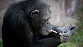 Ésta es Azalea, la chimpancé que fuma en el zoo de Corea del Norte