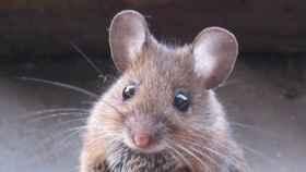 Un ejemplar de ratón.