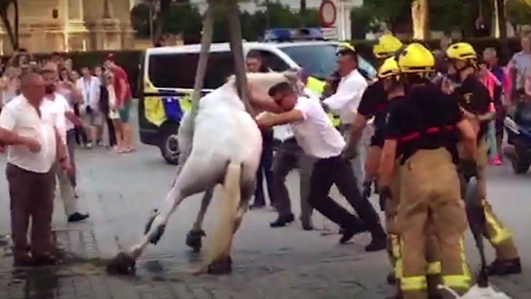 PACMA ha documentado las condiciones de los caballos que arrastran coches para turistas en Sevilla