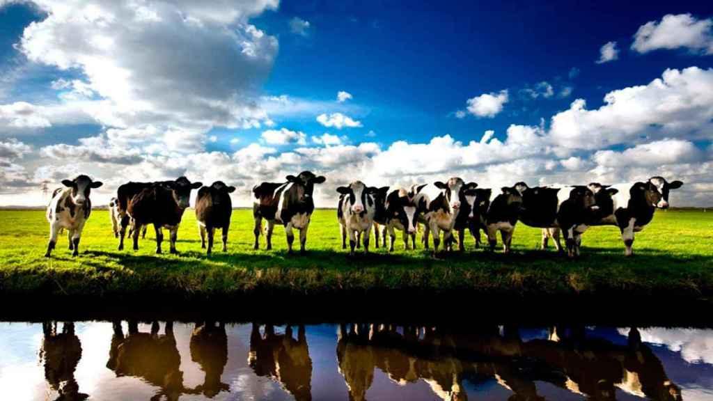 carne-vacas