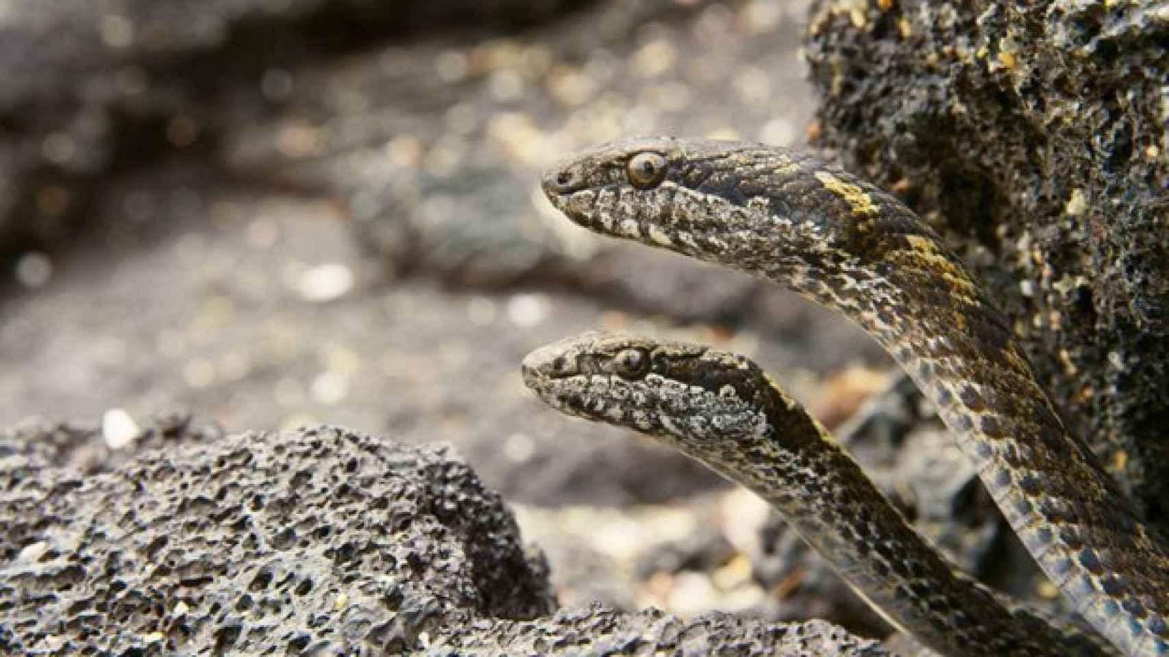 Las serpientes, siempre atentas a todo lo que se mueve.