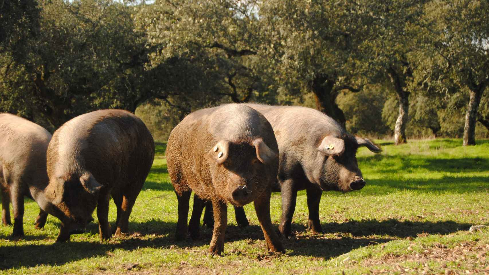Cerdos ibéricos en Extremadura.