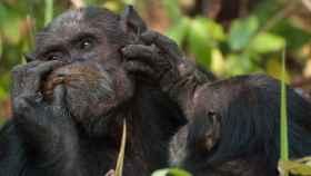 Dos chimpancés Gombe interactuando.