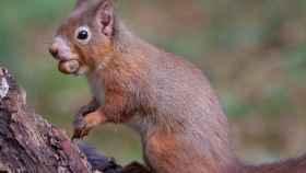 Cepa de lepra medieval se ceba con unas ardillas en peligro de extinción