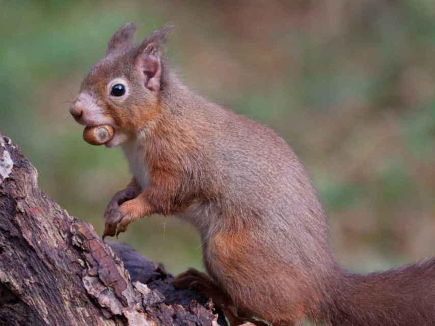 Una ardilla roja con la oreja alopécica, posible signo de lepra.
