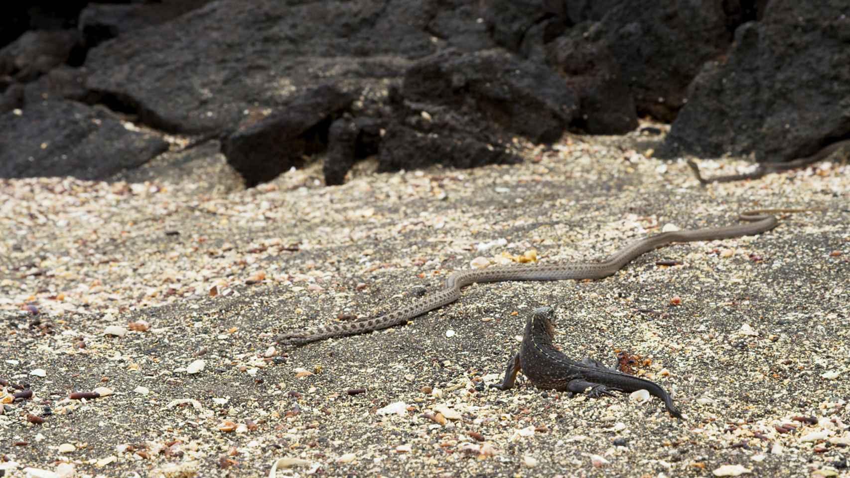 La iguana contra las serpientes en Galápagos.