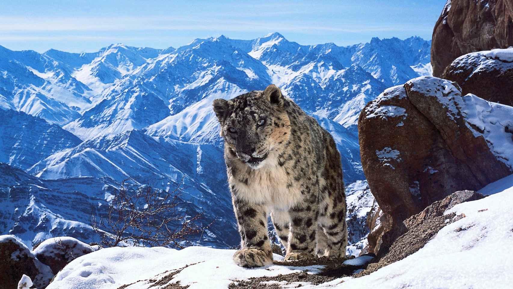 Un leopardo de las nieves en Planet Earth.