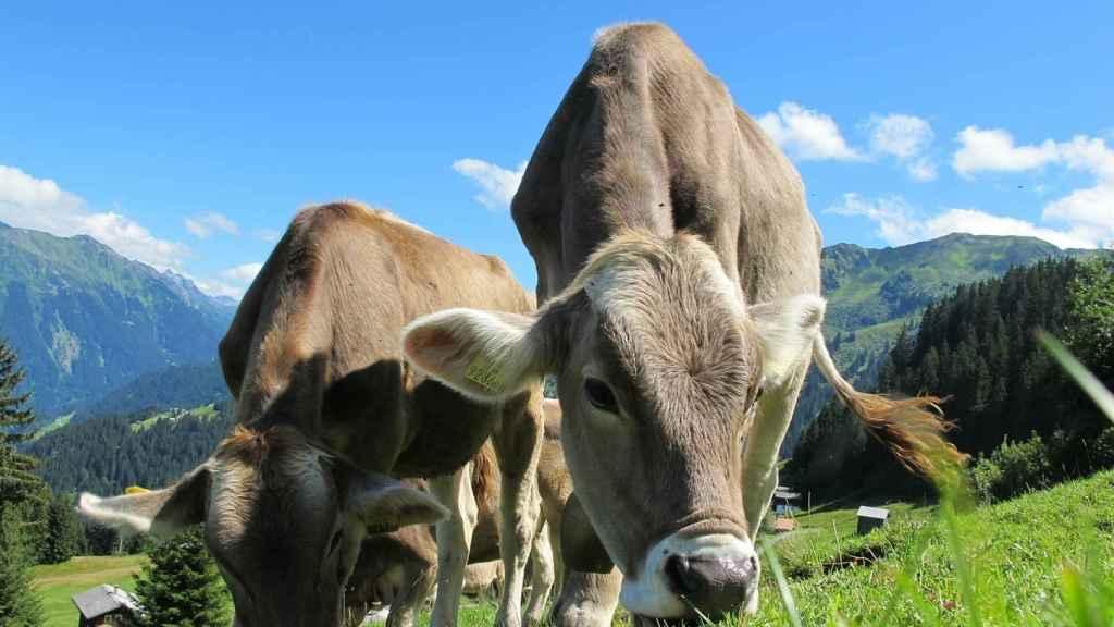 vaca, pradera, austria