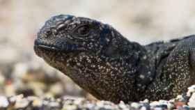 La iguana, tan tranquila, no sabe aún la que se le viene encima.