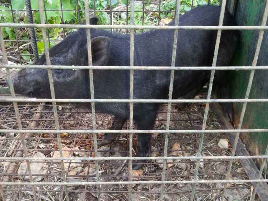 Un ejemplar de cerdolí atrapado en Ceuta.
