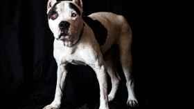 Un perro como este, de la raza pitbull, ha atacado a una mujer en Entrevías.