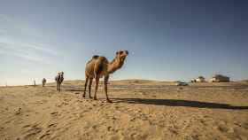 Cinco cosas que quizá no sabías del camello
