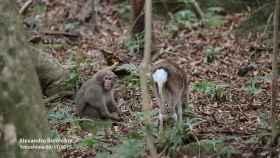 Imágenes tomadas en 2015 por los investigadores y publicadas en Primates.