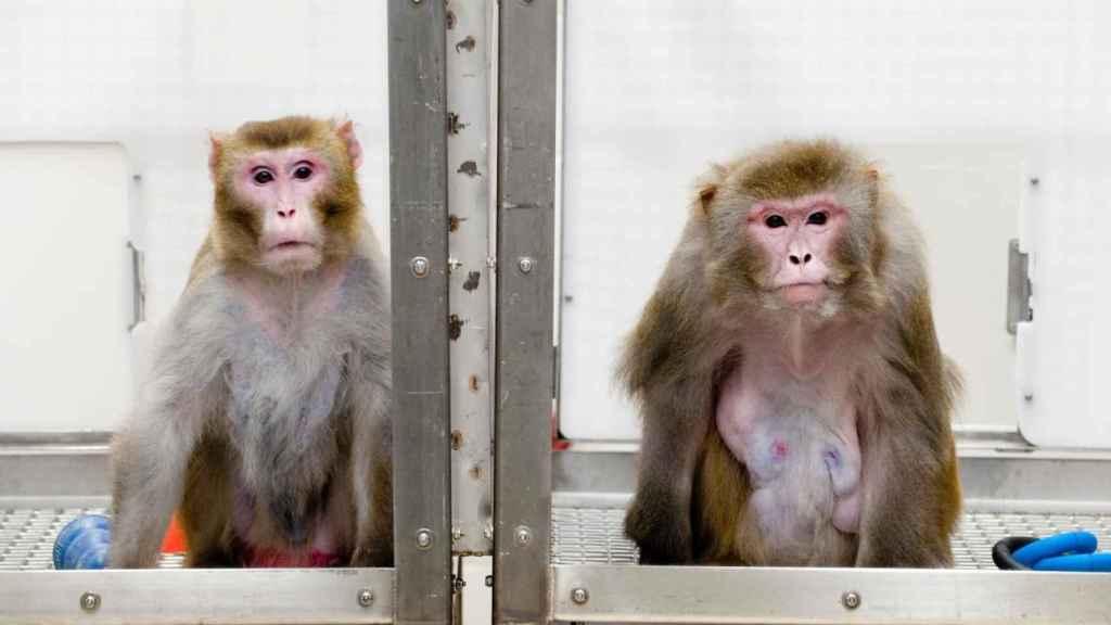 Al mono de la izquierda no le han dejado comer mucho; al de la derecha, sí.