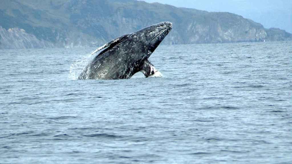 Un ejemplar de ballena gris se eleva sobre las aguas