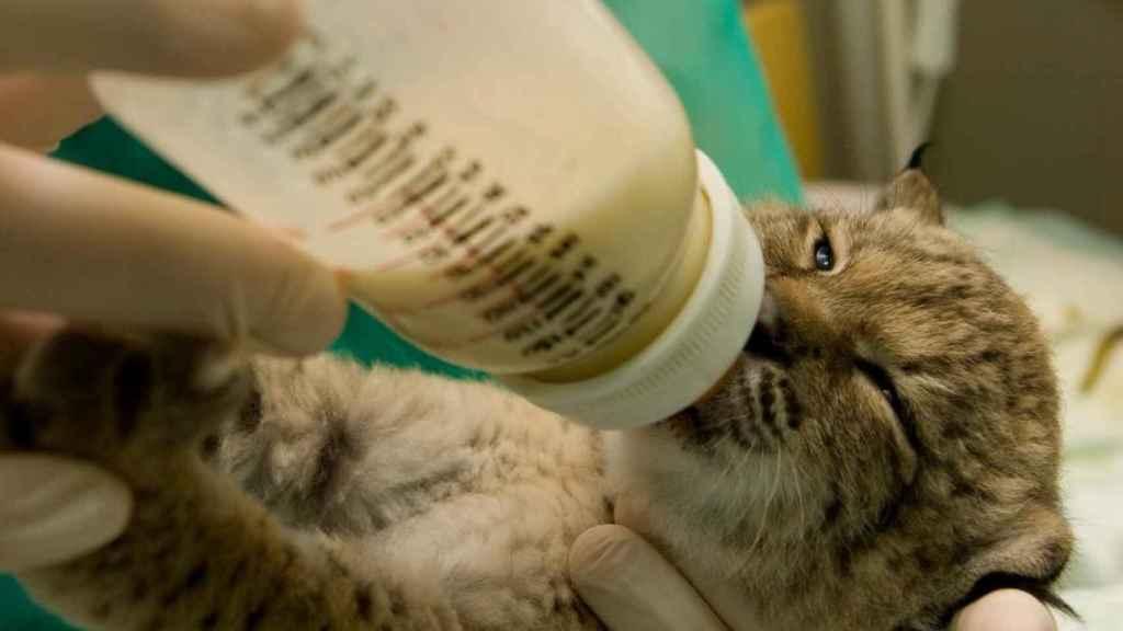 Un cachorro de lince ibérico nacido en el programa de conservación ex situ en 2008 se alimenta con un biberón.