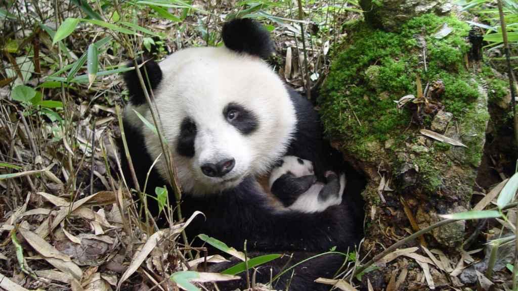 Ejemplar de oso panda cuidando de su cría.