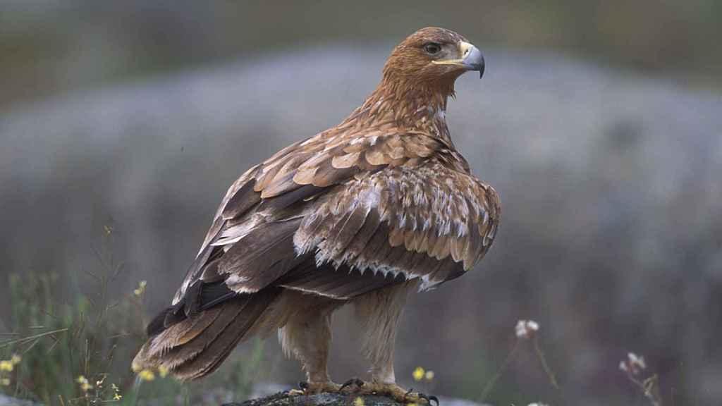 El águila imperial es endémica de la Península.