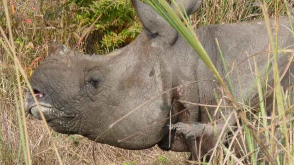 El cuerno del rinoceronte es lo más preciado para los furtivos.