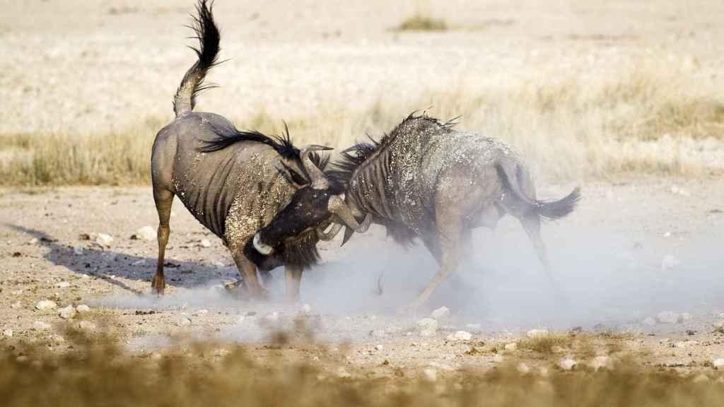 Dos ñus azules en plena pelea.