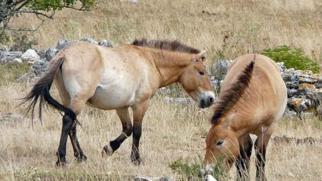Dos caballos salvajes mongoles pastando.