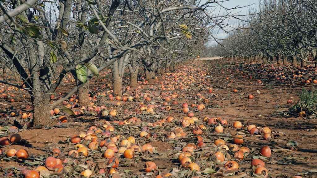 El temporal ha perjudicado la campaña agrícola en la Comunidad Valenciana: en la imagen, caquis por los suelos.