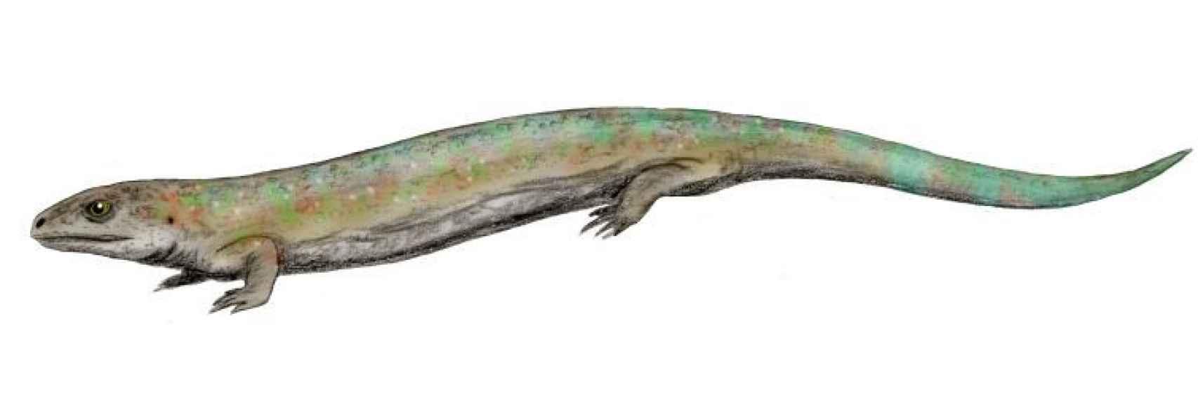 Reconstrucción del Westlothiana lizziae, un fósil carbonífero hallado en Escocia.