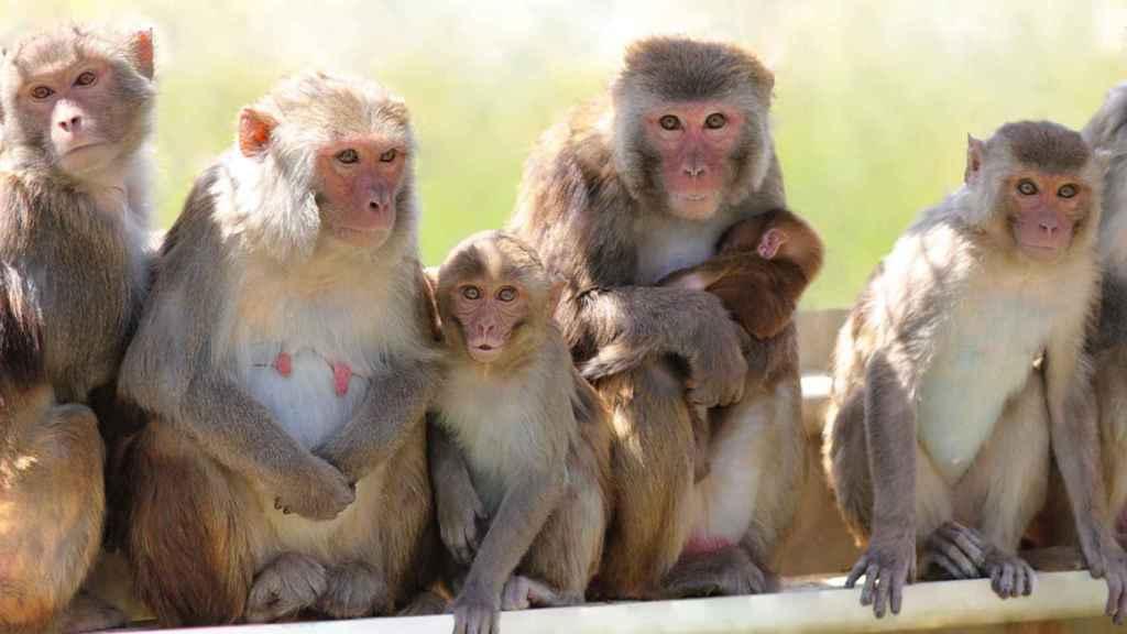 Grupo de macacos rhesus en el centro californiano.