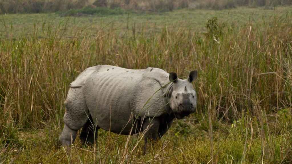 El aumento de la caza furtiva de rinocerontes indios les llevó a toma medidas excepcionales.