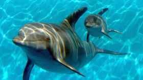Ejemplares de delfín.