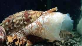 El caracol 'Conus regius'