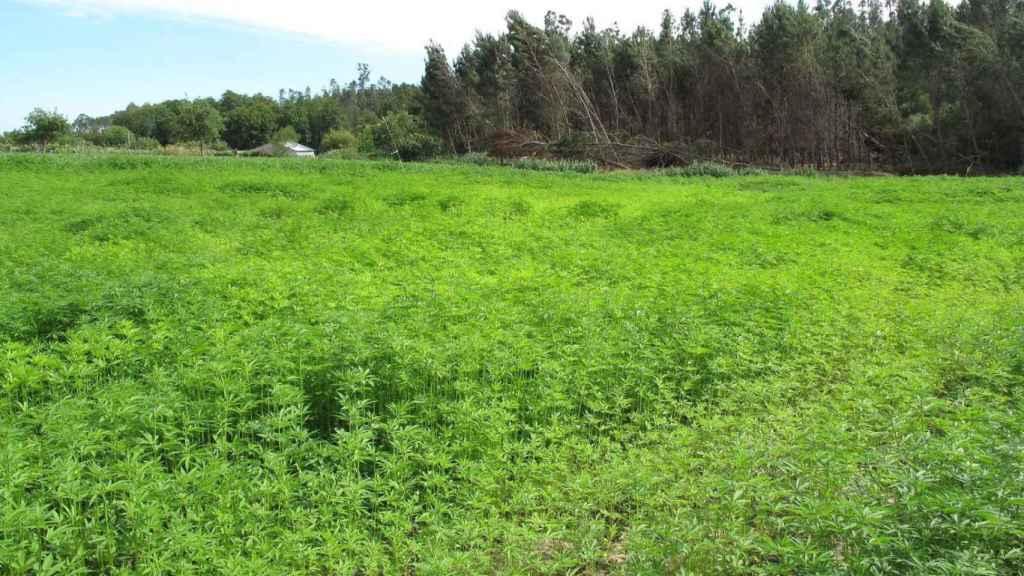 Una plantación de cultivo en Portugal de cáñamo industria.