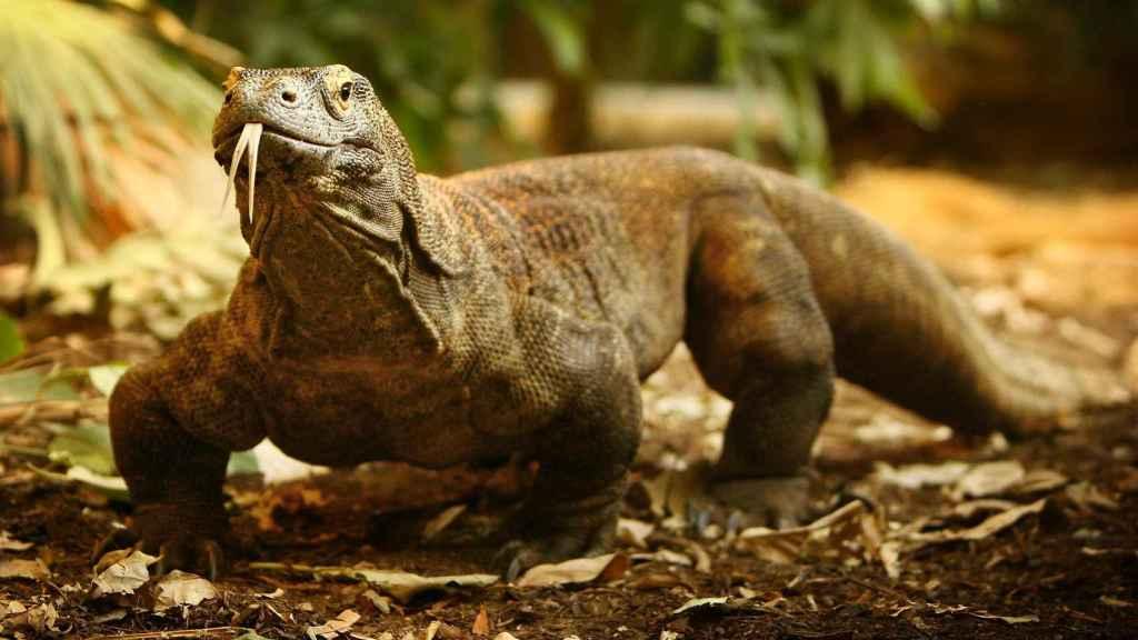 Un ejemplar de dragón de Komodo