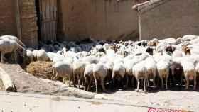noticias zamora ovejas
