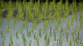 campos de arroz 1